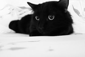 Black cat under sheet