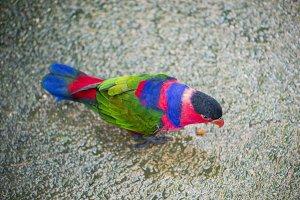 tricolor parrot, Lorius lory