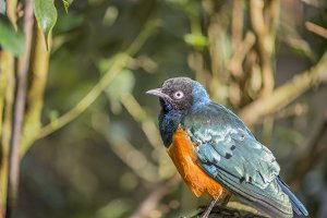 superb starling, Lamprotornis superb