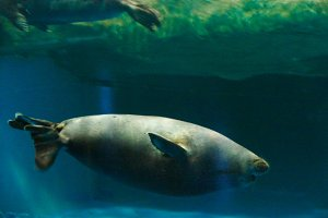 The Baikal seal