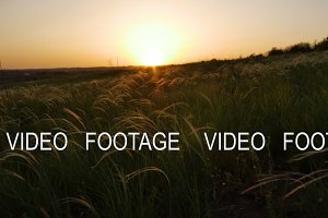camera moves along field with golden grass on sunset, smooth movement