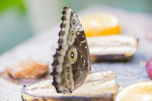morpho butterfly, morpho peleides