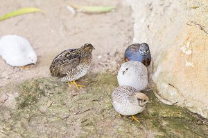 Chinese quail, chinensis excalfactor