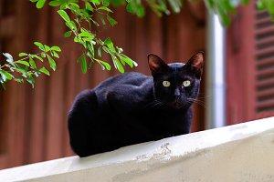Cute black cat looking forward.