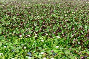 Beautiful lotus blooming in field.