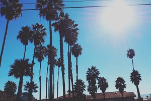 Malibu Palm Trees