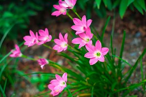 Rain Lily or Zephyranthes grandiflora flower on green background