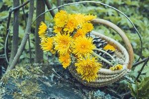 Spring yellow dandelions