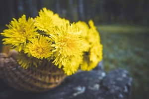 Spring dandelions in a basket