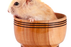 Little funny hamster in a wooden bowl isolated on white background