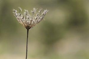 Dry wild plant
