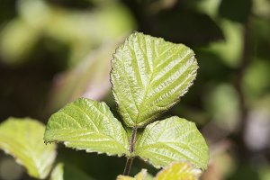 Leaves of a blackberry
