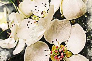 Pear White Flowers - Fine Art Print