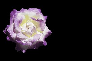 White and purple rose