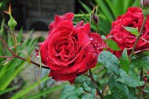 Red Roses Rain
