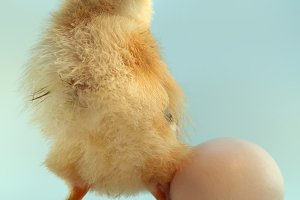 Five day old chickling and egg