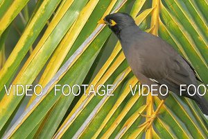 Mynah bird on palm branch