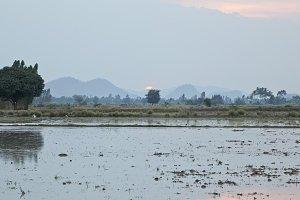 Green rice field