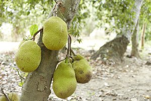Jackfruit Tree and young Jackfruits
