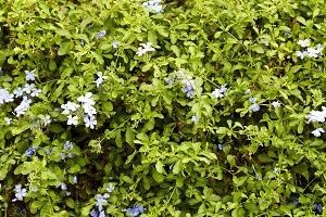 White plumbago is blooming