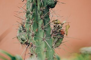 Thorny Cactus against Pink Wall