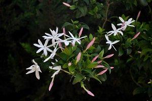 Jasminum multipartitum on branch
