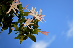 Jasminum on branch and sky