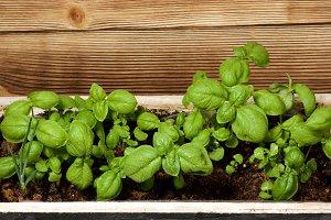 Fresh Green Basil