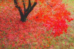 Canarian maple tree
