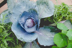 Cabbage, faded vintage look