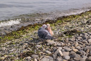 Kissing of two blue and red pigeons on the seacost