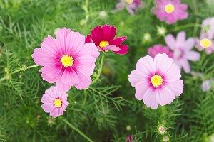 cosmos flowers  in the garden
