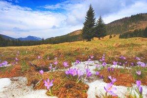 Spring landscape with crocuses