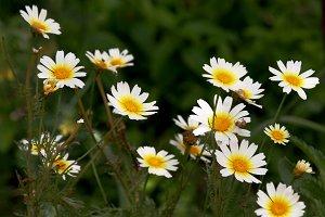 Wild daisies in the garden