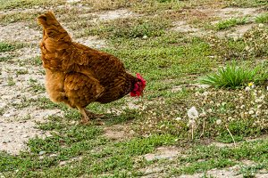 Chicken searching for food in weeds