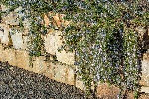 Blue flowering vine growing on rock wall