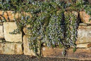 Blue flowering vine on rock wall