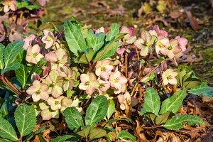 Hellebore flowers blooming pink in garden