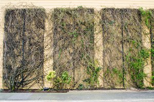 Vining plants on wall structure