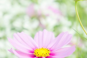 pink blossom cosmos flower flora