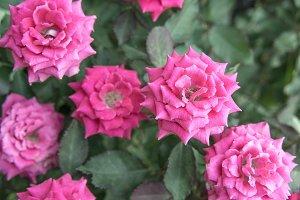 pink roses vintage in garden