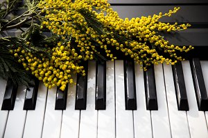 A branch of mimosa on the piano keys