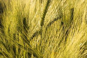 Barley Heads