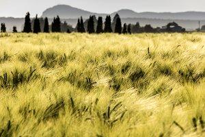 Barley Fields in Sun