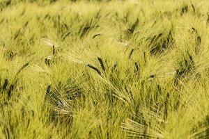 Heads of Barley in Field