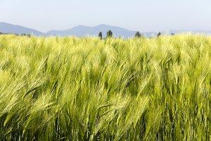 Waves of Green Barley