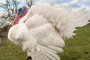 white turkey male or gobbler closeup on the blue sky background