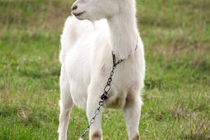One white goat on green grass in a field