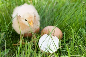 baby chicken with broken eggshell and egg in the green grass