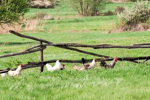 rooster and chickens graze on green grass